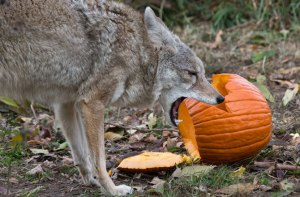 wolves-pumpkins-coyote