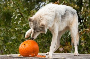 wolves-pumpkins-marion